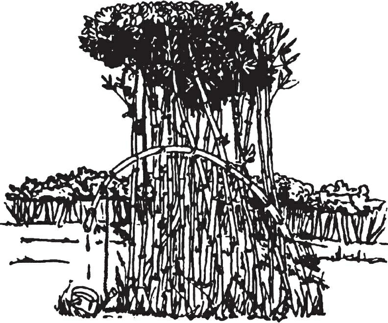 从嫩竹子里获得水