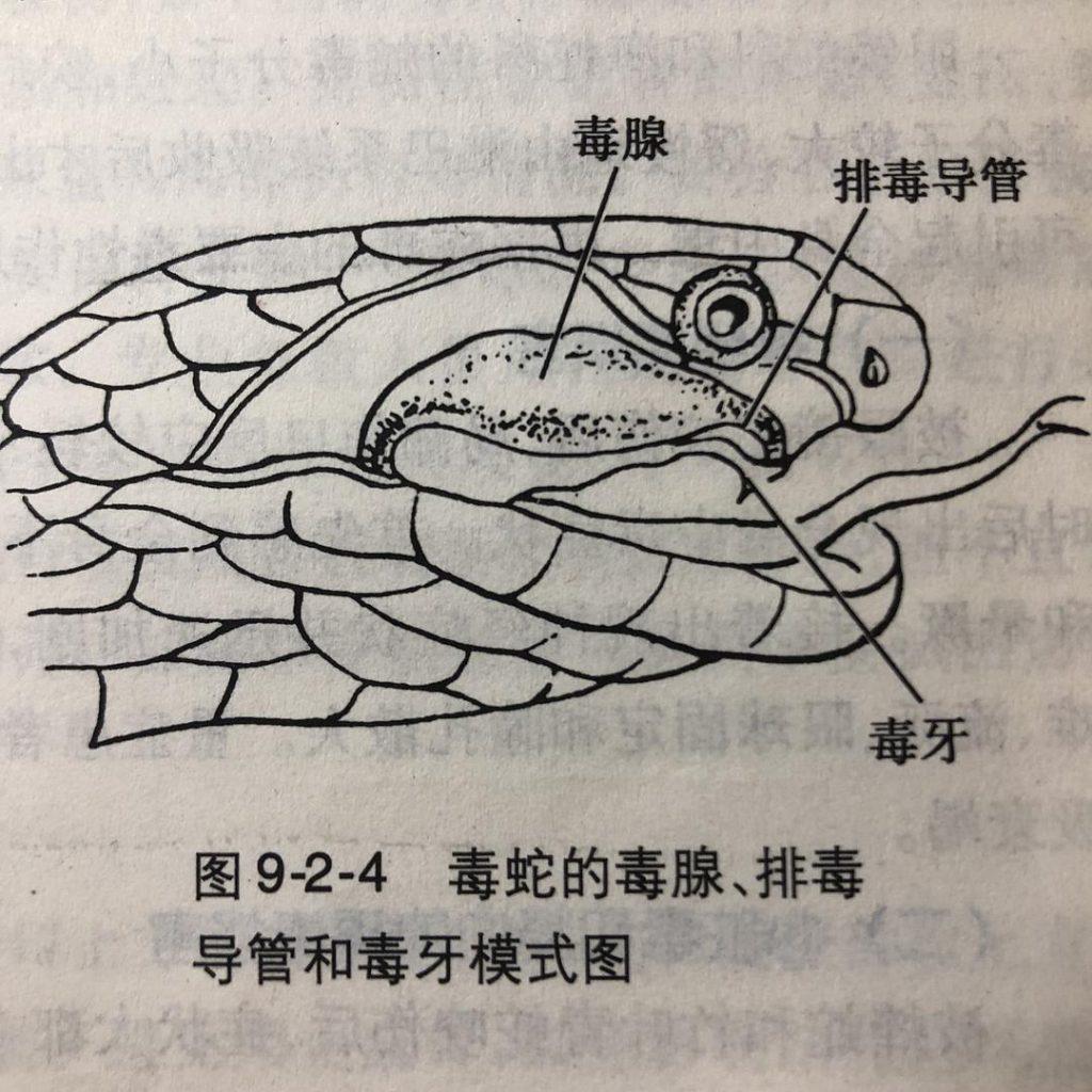 毒蛇的毒腺、排毒导管和毒牙模式图