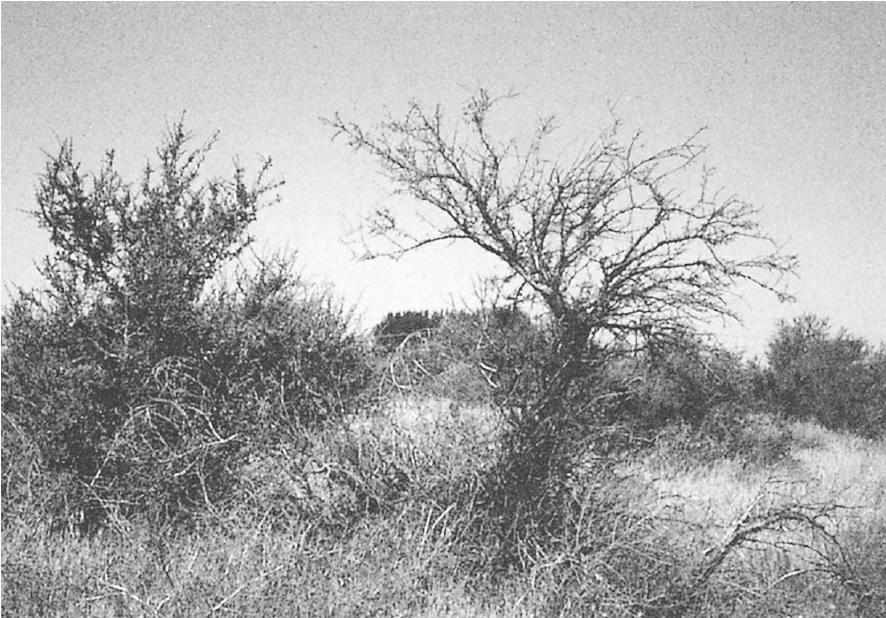 枯死的灌木蒿和矮树是野外生火的首选燃料来源