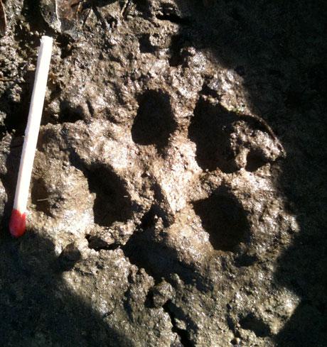 威尔士发现的狐狸脚印